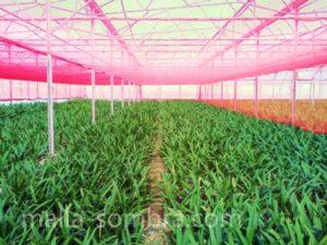 Malla sombra de color en cultivo en casa sombra de flores ornametales