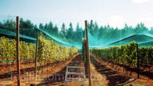 Malla sombra de color en cultivo de uva en campo abierto con OBAMALLA®