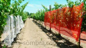 Malla sombra de color en cultivo de uva en campo abierto