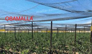 malla sombra en cultivo de arandanos