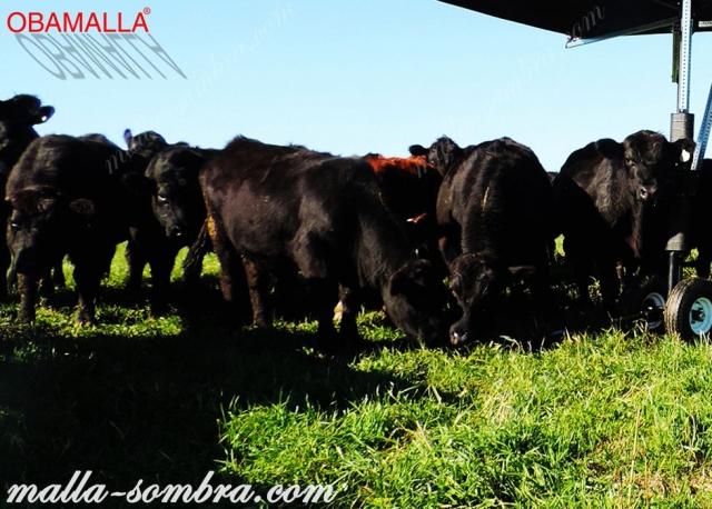 Vacas y toros exponiendose al sol.